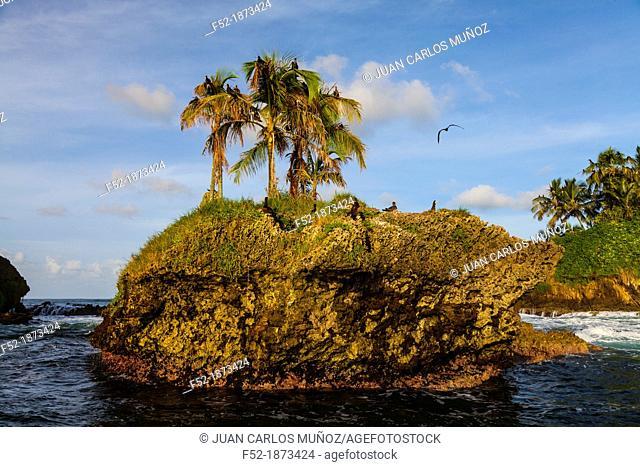 Brown Booby Sula leucogaster, Birds Island, Bocas del Toro Archipelago, Bocas del Toro Province, Panama, Central America, America