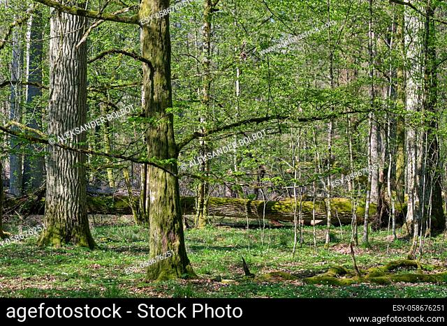 Oak and hornbeam tree deciduous forest in spring, Bialowieza Forest, Poland, Europe