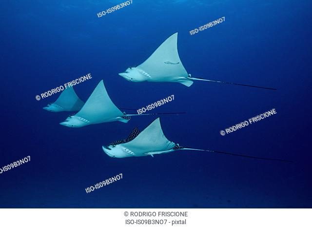 Spotted eagle rays (aetobatus narinari), underwater view, Cancun, Mexico