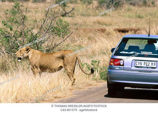 Lion (Panthera leo). Female and tourist vehicle. Kruger National Park. South Africa