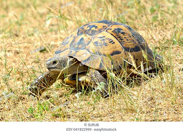 Spur thighed tortoise (Testudo graeca) on the ground in dry summer