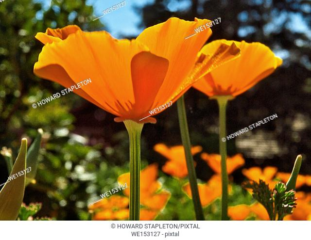 California Golden Poppy (Eschscholzia californica) is the state flower of California