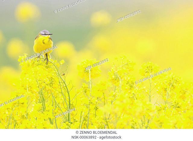 Yellow Wagtail (Motacilla flava) male sitting in Rapeseed (Brassica napus), The Netherlands, Noord-Brabant, Biesbosch