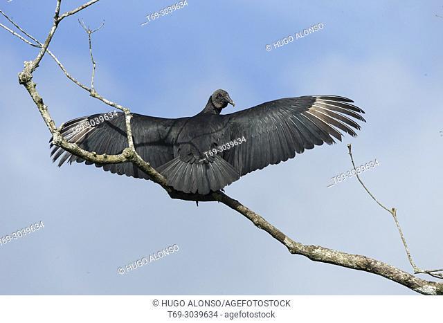 Black Vulture with open wings. Coragyps atratus. Costa Rica