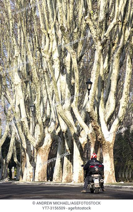 Bare Plane trees lining the Passegiata Di Gianicolo on Janiculum hill (2nd highest in Rome) a. k. a. Monte del Gianicolo, Italy