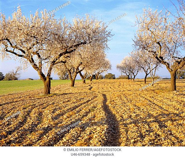 Almond trees in spring on a field  LLeida  Spain