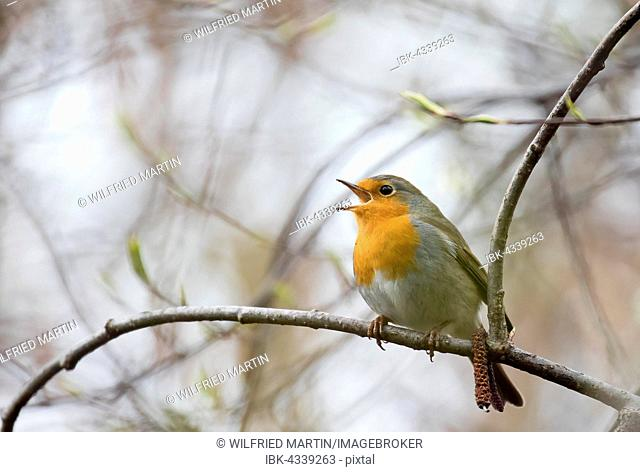 Singing European robin (Erithacus rubecula) perched on a twig, Hesse, Germany