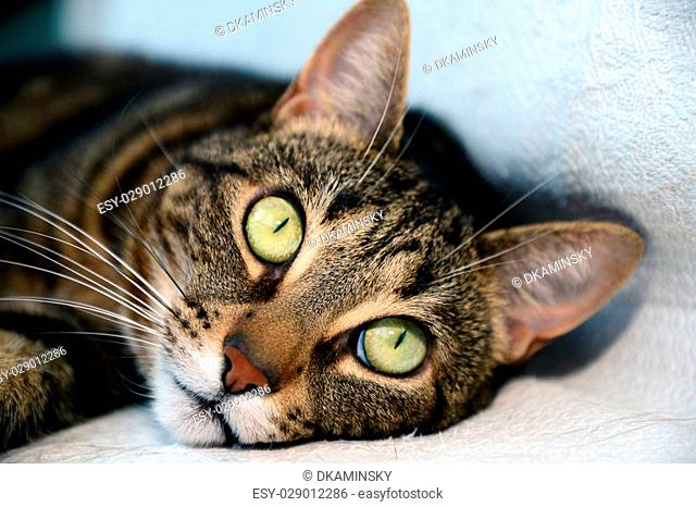 Photo of a egyptian mau cat with big green eyes. Taken in Riga, Latvia