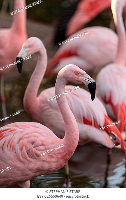 The Chilean flamingo, Phoenicopterus chilensis, is bright pink freshwater bird found in streams and lakes