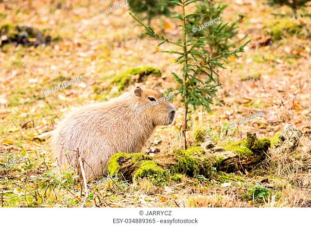 Capybara in front of small tree on the autumn ground