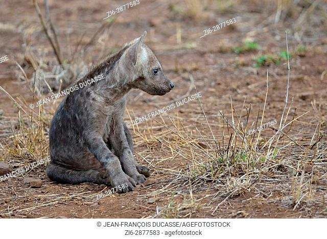 Spotted hyena or Laughing hyena (Crocuta crocuta), male baby sitting, Kruger National Park, South Africa, Africa