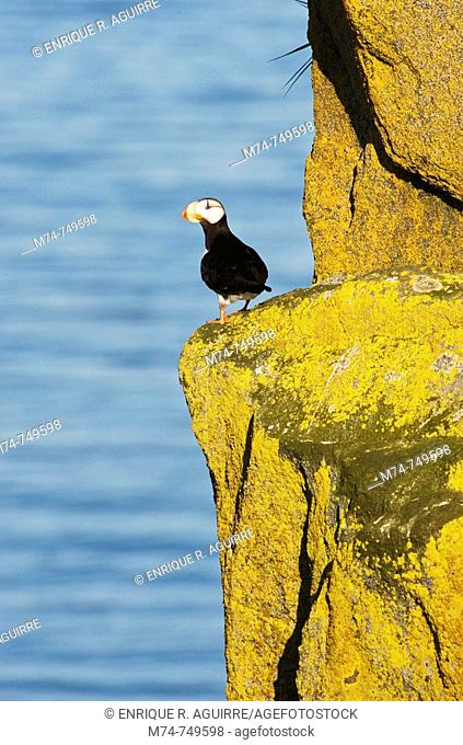 Tufted Puffin (Fratercula cirrhata) and Horned Puffin (Fratercula corniculata)