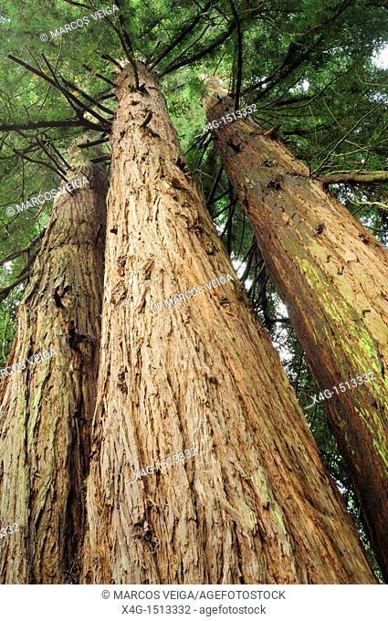 Californian Coast Redwood Sequoia sempervirens