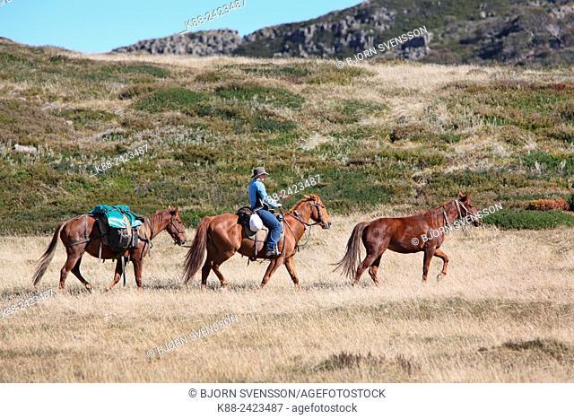 Horse riding tour in the Bogong High plains. Near Falls Creek, Victoria, Australian Alps