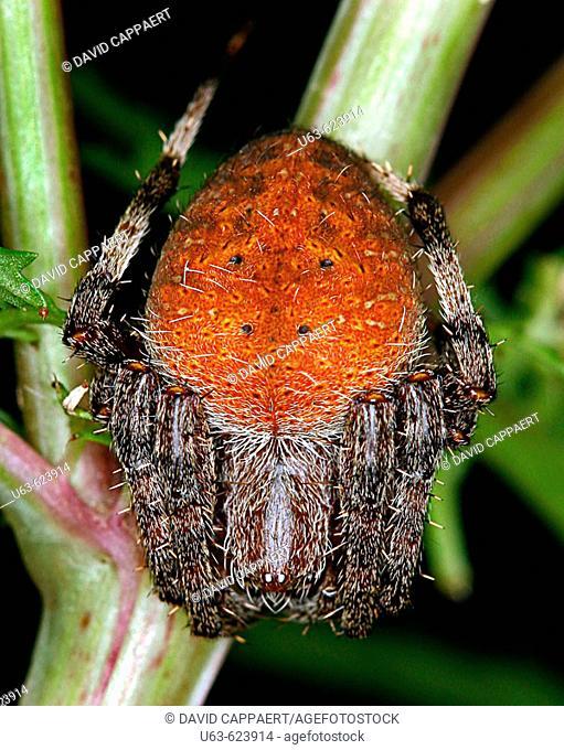 Orb-weaver spider, Neoscona crucifera, Michigan, USA