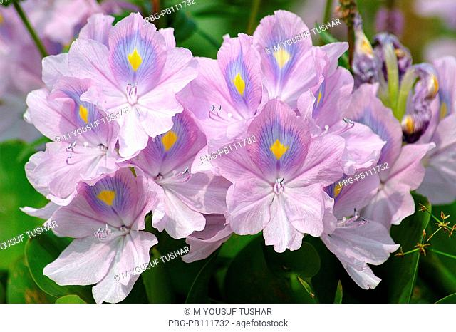 Flower of water hyacinth Eichhornia crassipes locally known as Kachuri phool bloomed in a marsh in Khulna, Bangladesh Water hyacinth is a free-floating tropical...