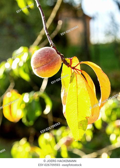 peach immature fruit on the branch
