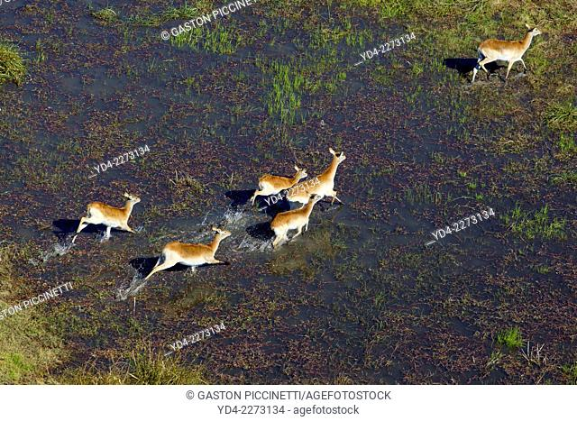 Aerial view of Red Lechwes group (Kobus leche), running in the floodplain, Okawango Delta, Botswana. The vast inland delta is formed from the Okavango River