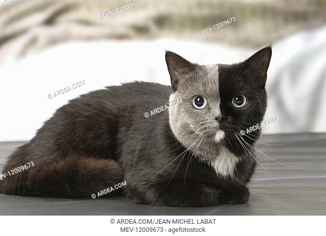 British shorthair cat with two tone face indoors