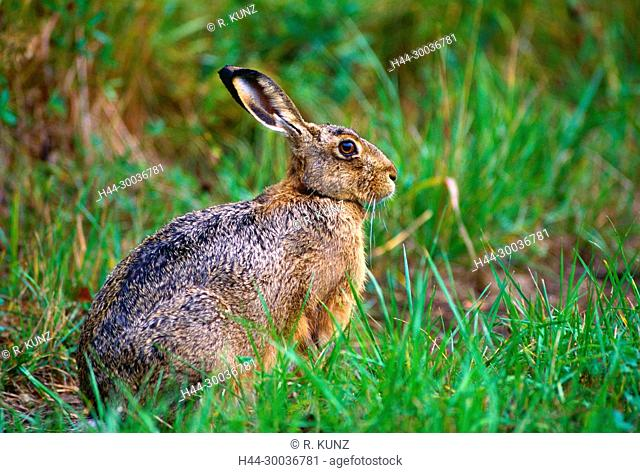 European Hare, Lepus europaeus, Leporidae, Hare, mammal, animal, Ängsön Nature reserve, Västmanland, Sweden