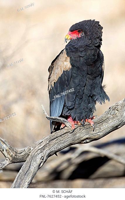 Bateleur (Terathopius ecaudatus), Nossob Riverbed, Botswana