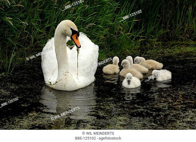 Mute Swan with chicks in water