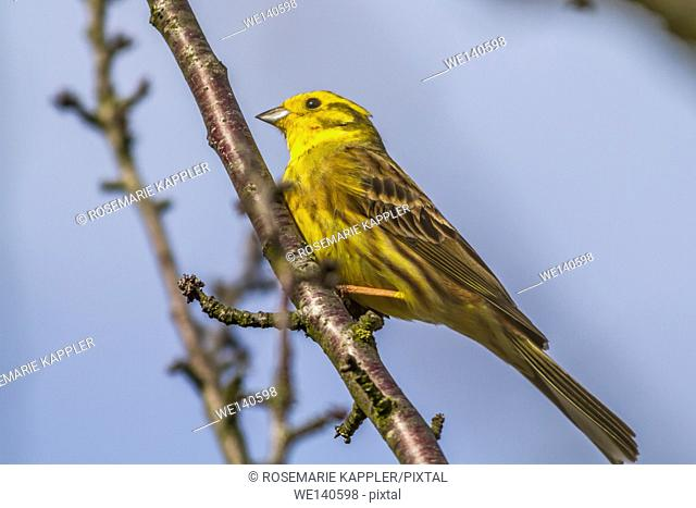 Germany, Saarland, Homburg, A yellowhammer is sitting on a branch