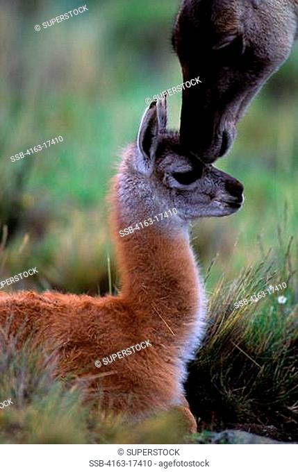 CHILE, TORRES DEL PAINE NAT'L PARK, GUANACOS, BABY CHULENGO, WITH MOTHER GETTING SCENT