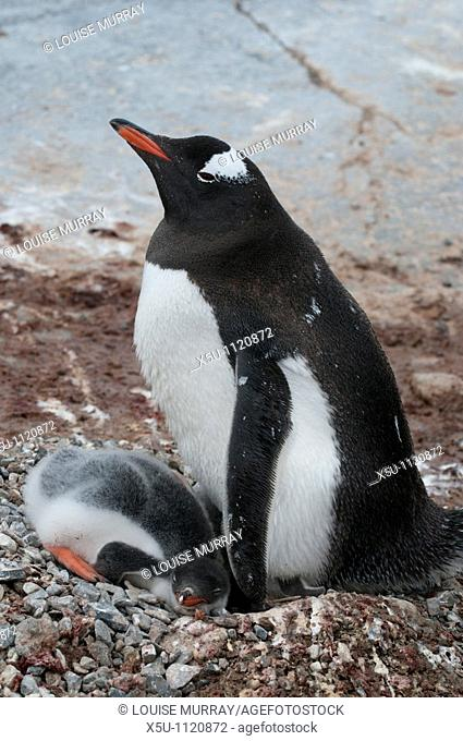 Adelie penguin and chick at the nest Antarctic peninsula