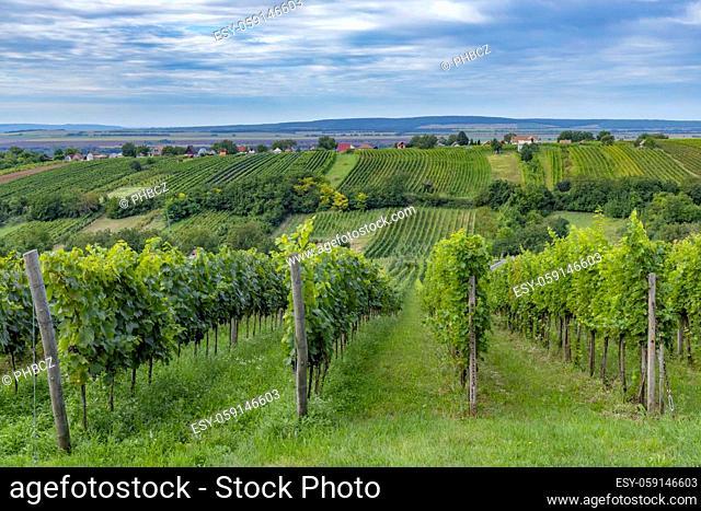 Summer vineyard nearby Strekov, Southern Slovakia