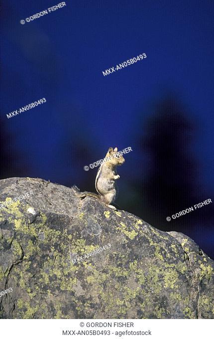 Chip monk on rock at Crater Lake National Park, Oregon, USA