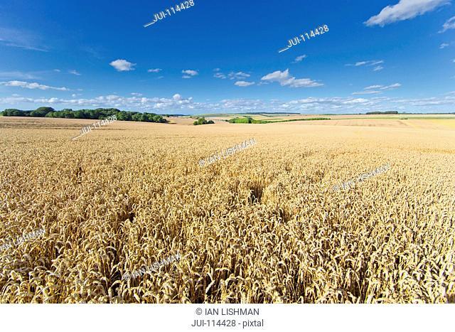 Wheat Crop Growing In Field With Blue Sky