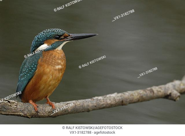 Male Common Kingfisher / Kingfisher (Alcedo atthis) sits in typical position on a branch above flowing water