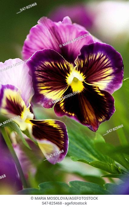 Dark Purple Pansy Flowers. Viola x wittrockiana