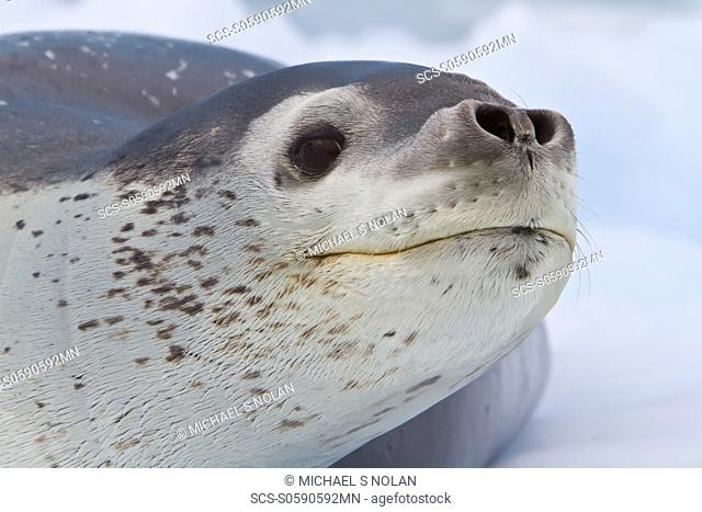 Adult leopard seal Hydrurga leptonyx hauled out on ice floe near the Antarctic Peninsula, Southern Ocean MORE INFO The leopard seal is the second largest...