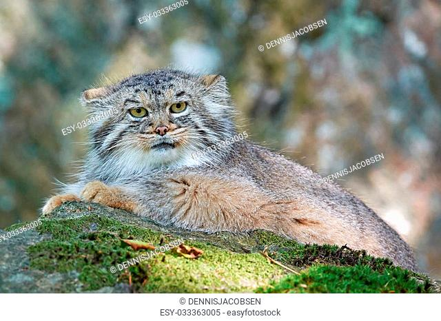 Pallas's cat resting in its habitat looking in the camera