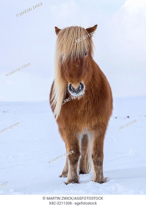 Icelandic Horse in fresh snow in Iceland. It is the traditional breed for Icealnd and traces its origin back to the horses of the old vikings