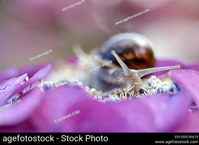 Large Garden Snail in Summer crawling on hortensia flowers with water drops in the morning