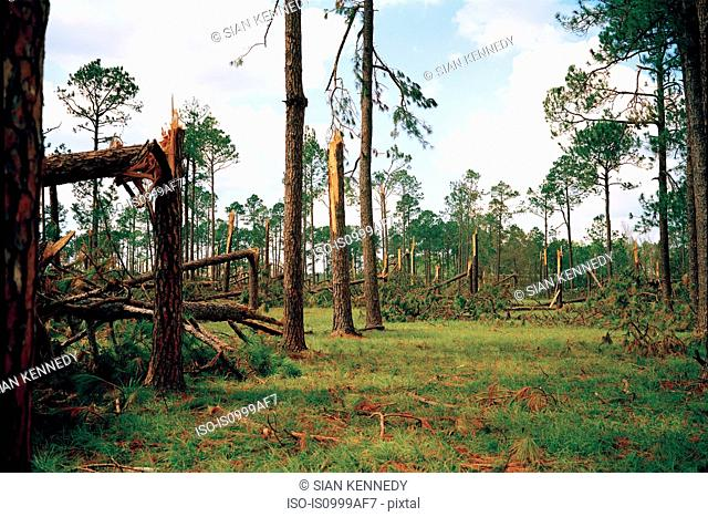 Forest blown over by Hurricane Katrina, Woodville, USA