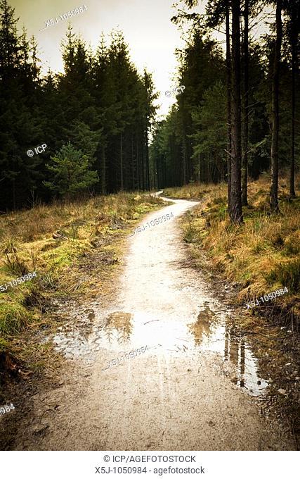 Coniferous forest path UK