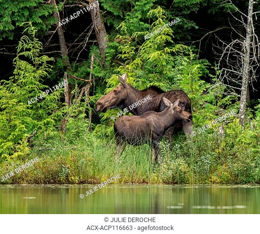Cow Moose and Calf feeding along the waters edge in Rural Ontario, Canada