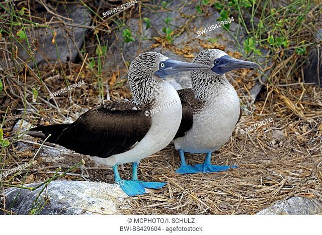 blue-footed booby (Sula nebouxii), couple, male and female standing together, Ecuador, Galapagos Islands, Espanola