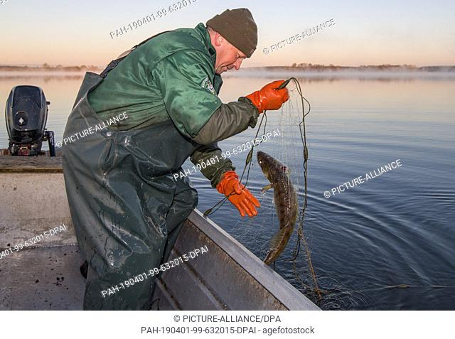 01 April 2019, Brandenburg, Groß Schauen: Laszlo Acz, fisherman of the fishery Köllnitz, fetches in the early morning at sunrise a set net with a zander from...