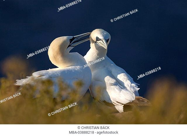Gannet on the island Helgoland, Schleswig - Holstein, North Germany, Germany, Europe