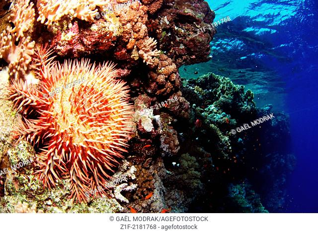 Crown-of-thorns starfish eating corals on Saint John's reef, south of Egypt. Acanthaster planci