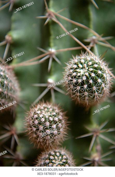 Cactus con esquejes