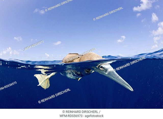 Young Brown Booby, Sula leucogaster, Bikini Atoll, Micronesia, Pacific Ocean, Marshall Islands