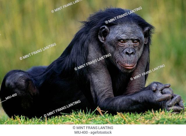 Bonobo resting, Pan paniscus, Native to Congo, DRC, Democratic Republic of the Congo
