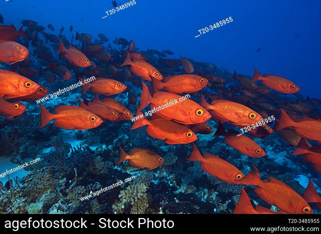 Shoal of Crescent-tail Bigeye, Priacanthus hamrur, Fakarava, Tuamotu Archipel, French Polynesia
