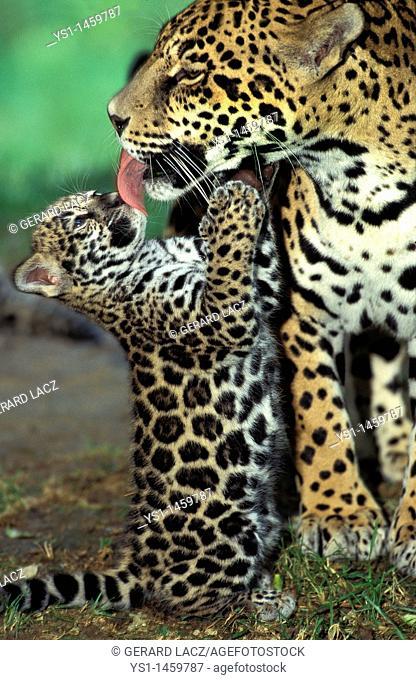 JAGUAR panthera onca, MOTHER LICKING CUB